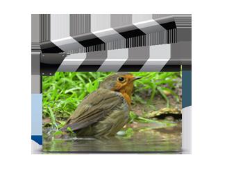 Vidéos oiseaux